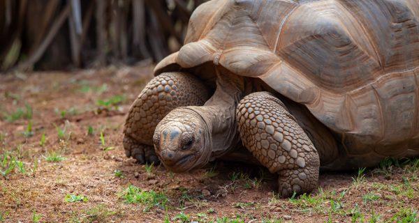 aldabra-tortoise-4364580_1920